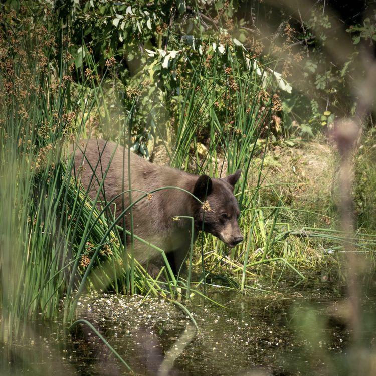Black Bear Montana - nature, usa - erik_schepers   ello