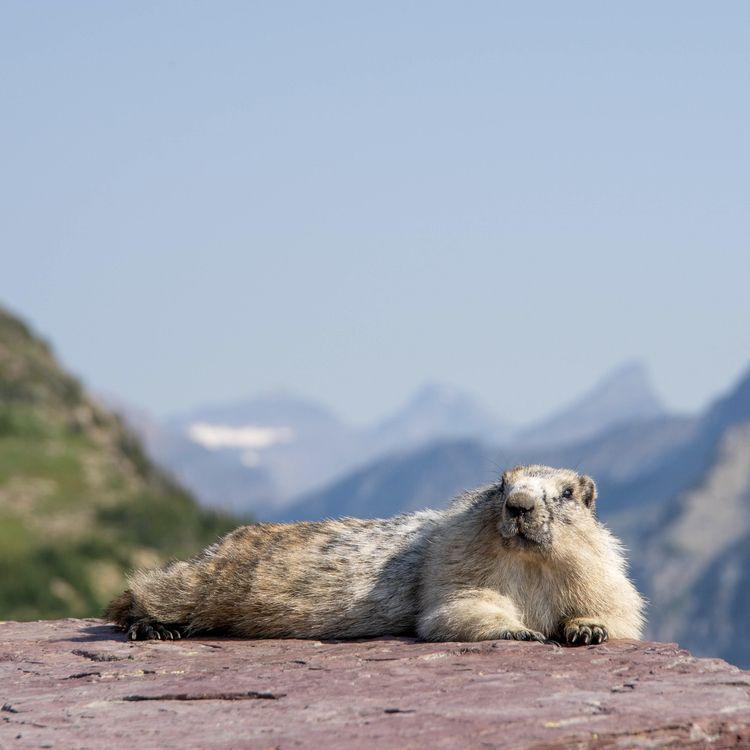 Lazy Marmot Montana, Glacier Na - erik_schepers   ello