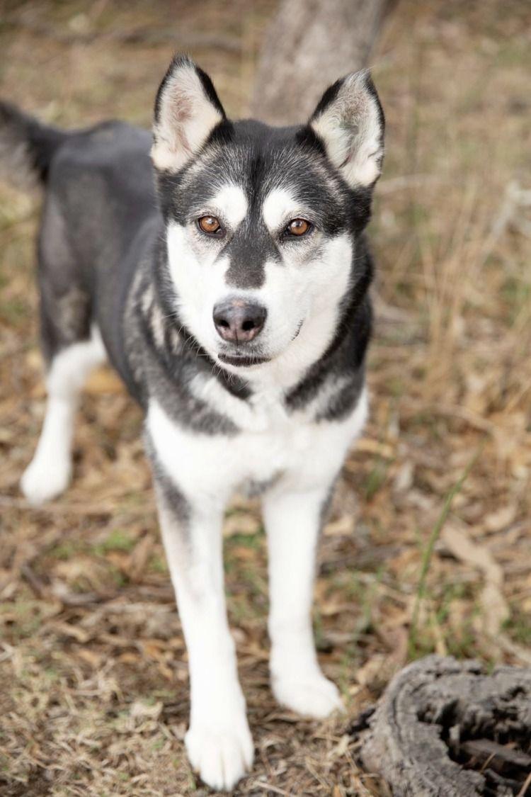 Adopt Chakra - female alaskan m - red_wolf | ello