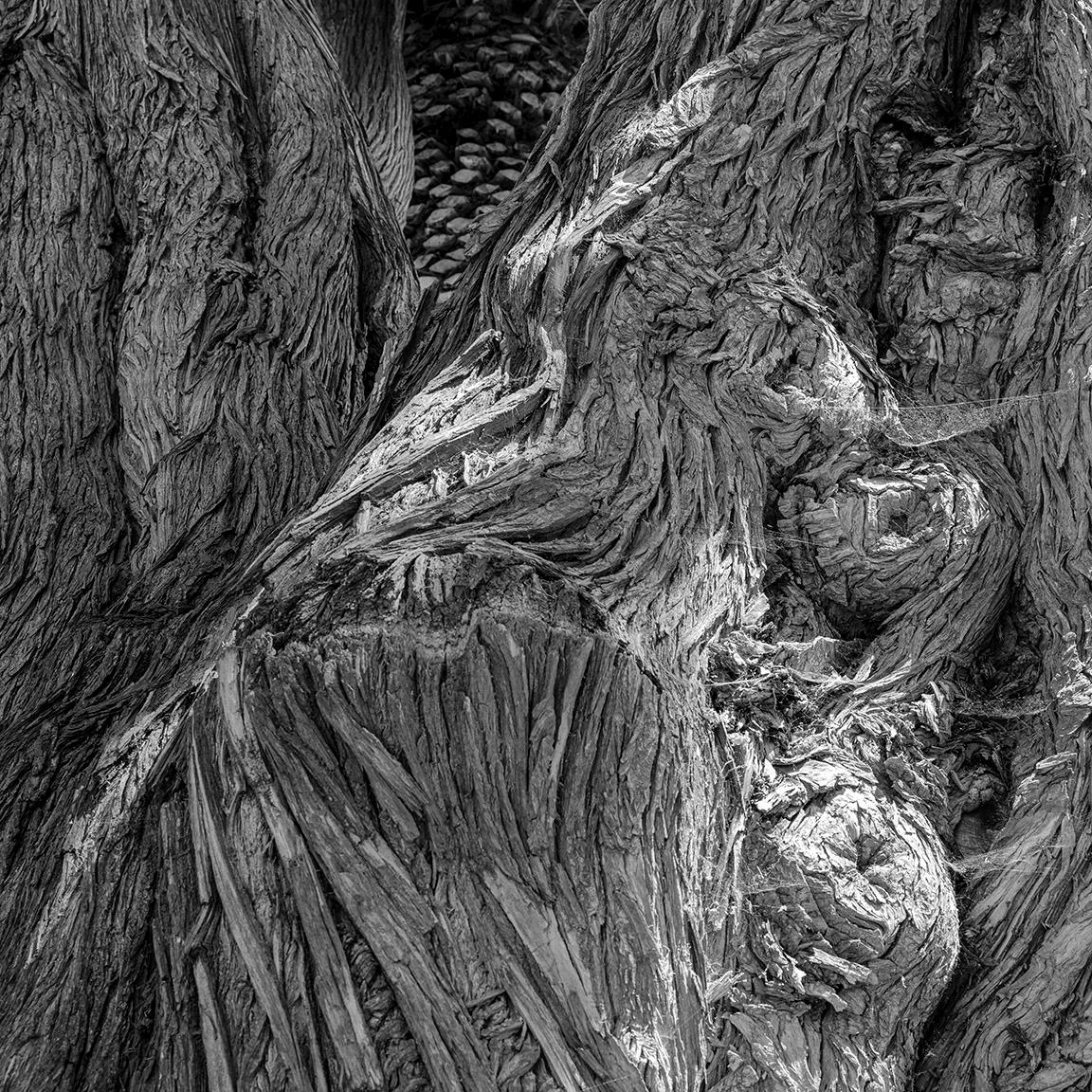 tree detail, Carpenteria, Calif - frankfosterphotography   ello