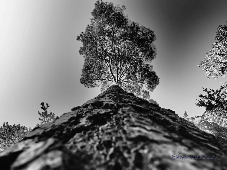 portrait pine - tree, forest, nature - bmonocerotis | ello