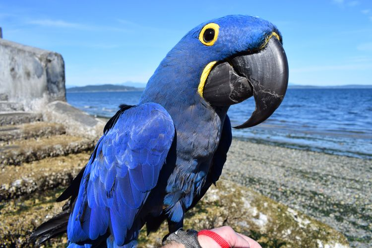 Portrait Parrot. Hyacinth Macaw - michaelostrogorsky   ello