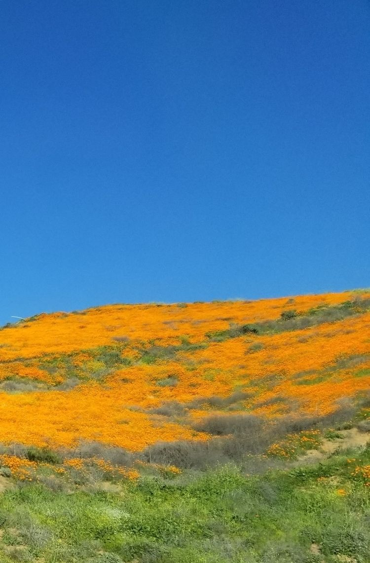 Southern California poppies 201 - nora_ | ello
