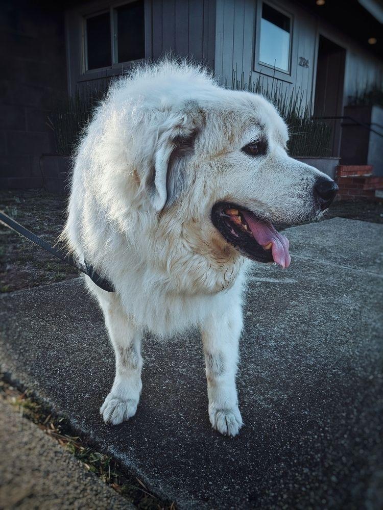 Meet Beaubo 185 pound Great Pyr - minusbaby | ello