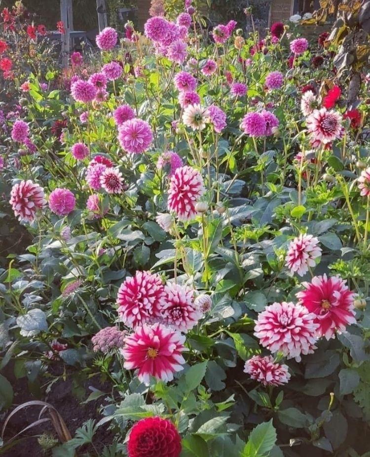 Dahlias garden - silviadekker | ello
