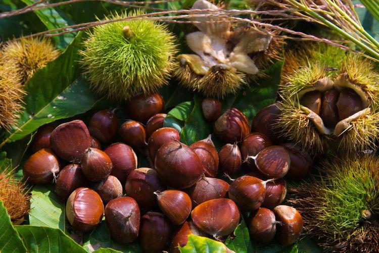 Picking chestnuts   Chestnut-hu - yottayoct | ello
