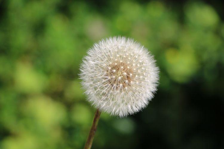 dandelion, nature, natur, naturfotografie - stefanweisefotografie | ello