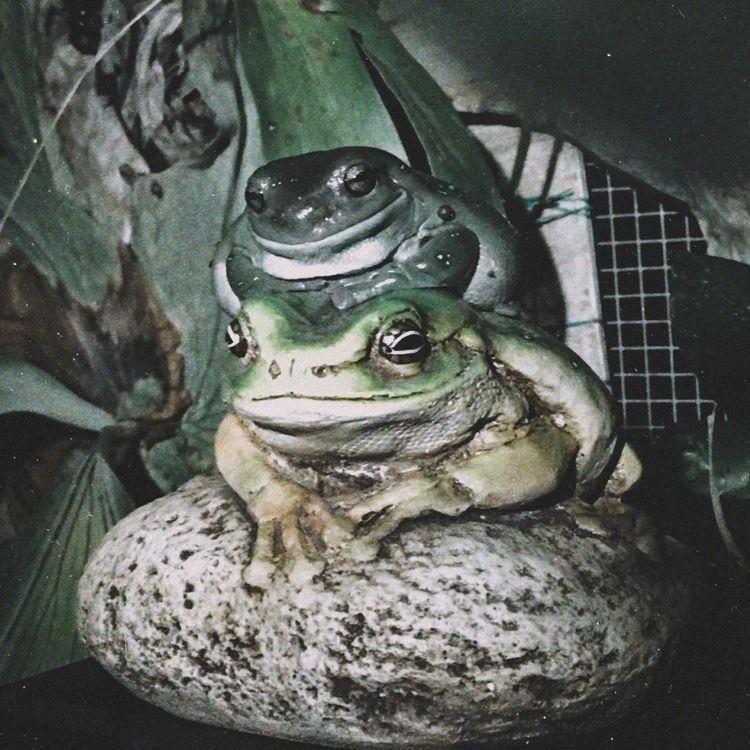 Local Green Tree Frog fooled Na - natureworks   ello