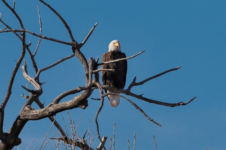 Bald eagle, block Metzger Farm  - gewb | ello