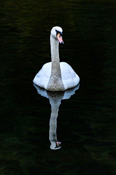 beautiful white swan swims dark - stevepurnell | ello