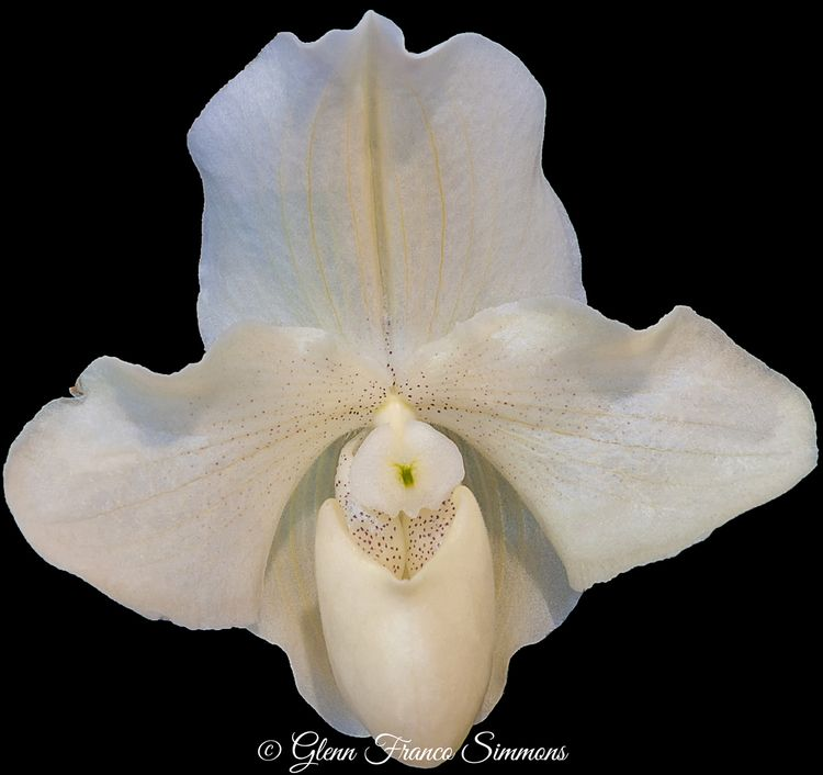 Paphiopedilum Orchid white orch - photosasart   ello