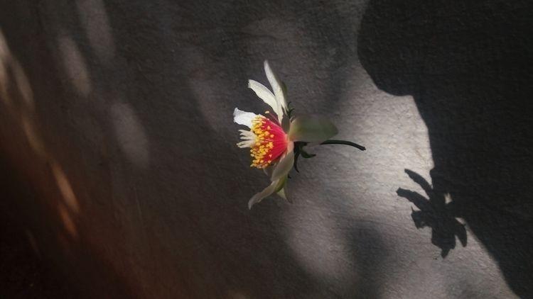 Ora-pro-nobis flower + shadow?  - rebornmartins   ello
