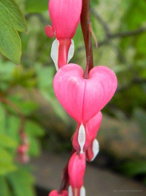 Bleeding heart. Photo - FredaMans - fredasvoice | ello