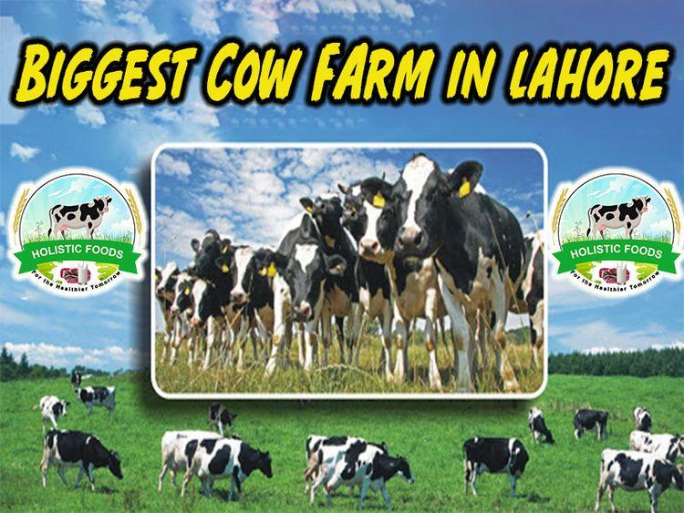 Holistic Foods dairy farms Laho - holisticfoods19   ello
