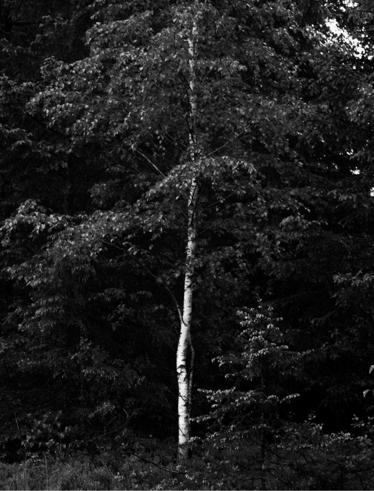 Birch tree western border Wasen - marcelgladbach | ello