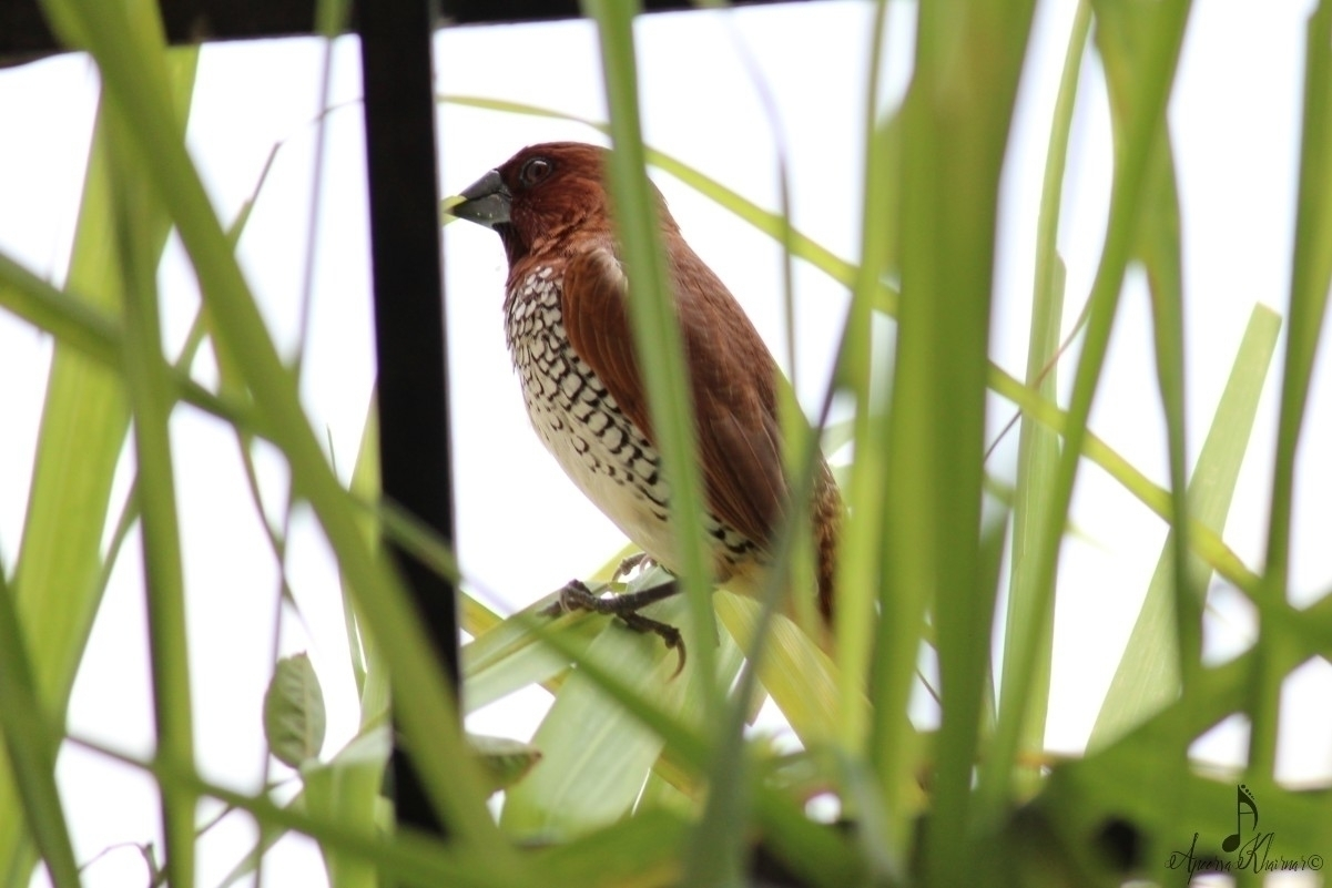 Window birding 1: Scaly breaste - apps11 | ello