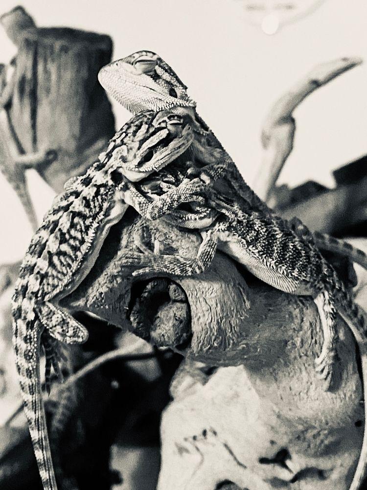 Nestling Baby Dragons - ellnocreations | ello