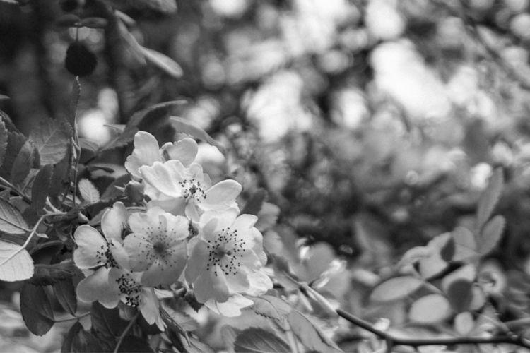 Blossoms, blackandwhite - underflow | ello