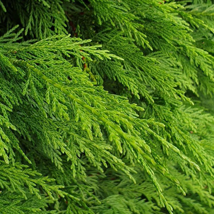 Leyland cypress - nature, photography - david_smiley | ello