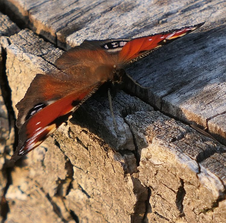 Peacock - nature, photography - david_smiley | ello