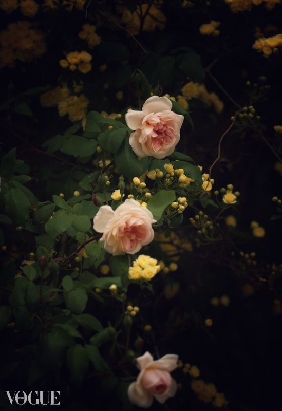 Rose - photography, stilllife, nature - malkutha | ello
