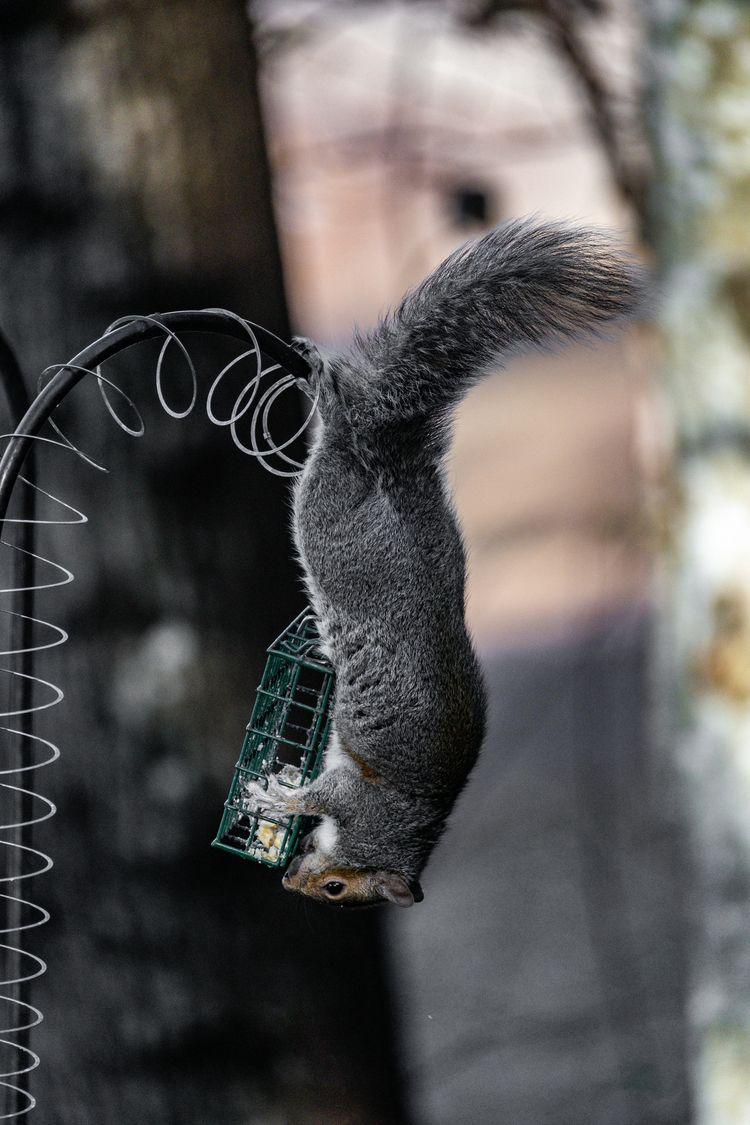 Squirrel 2020 11 30 05 Stansber - davidseibold | ello