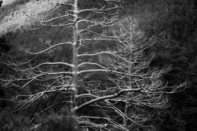 Skeleton trees - tree, nature, forest - manuelvicioso | ello