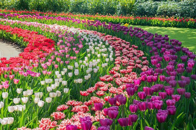 Keukenhof Tulip Garden, Netherl - geeksusie | ello