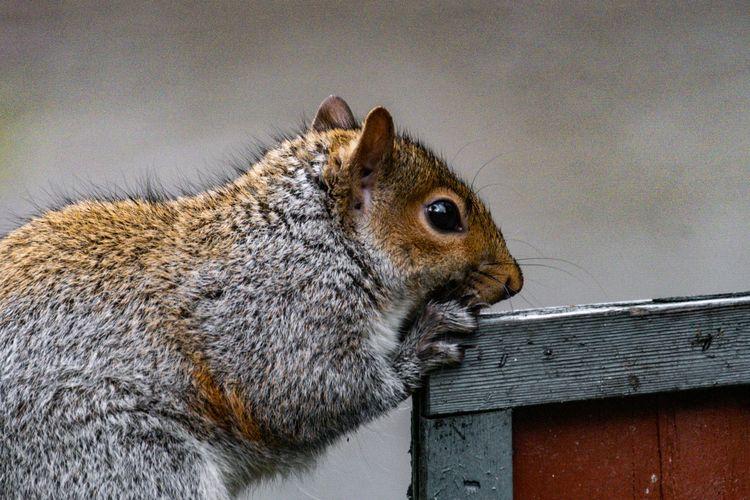 Squirrel 2020 12 09 01 Stansber - davidseibold | ello