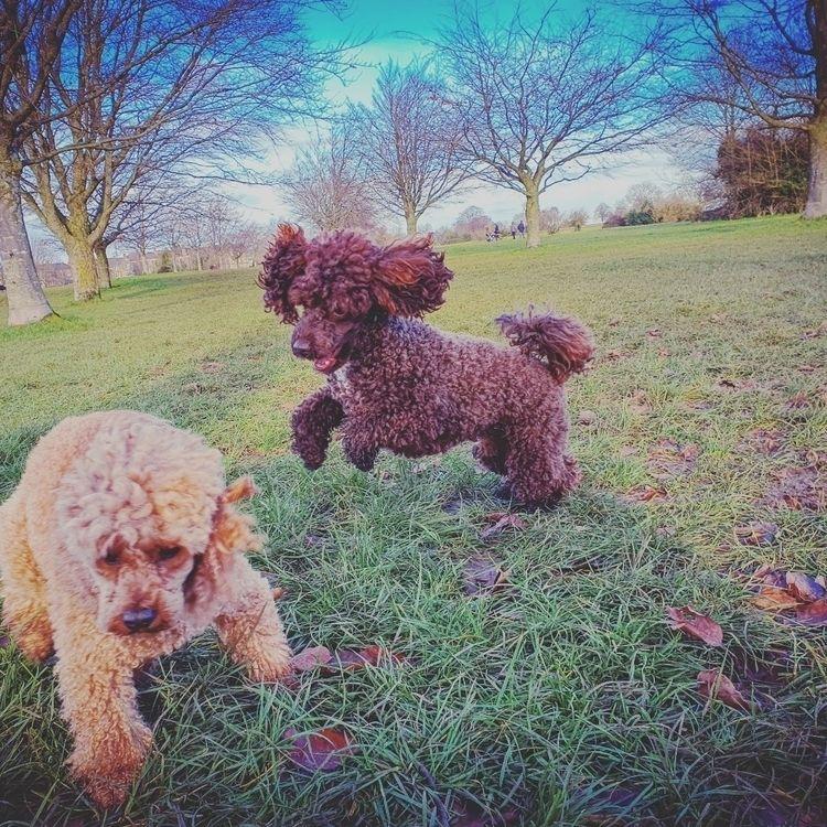 Playtime - toypoodles, dogs - wickhamai   ello