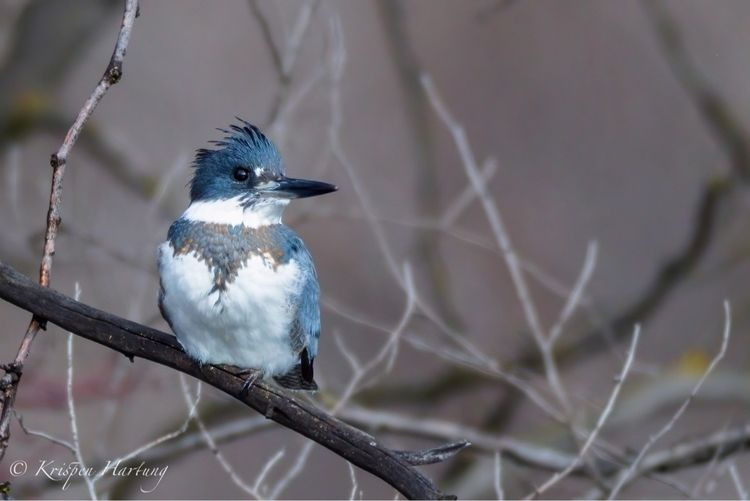 Belted Kingfisher - krispen_hartung_photography | ello