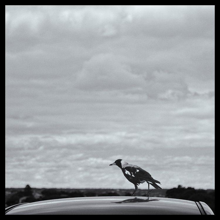 Bird black white. . 1172 141120 - matthewschiavello | ello