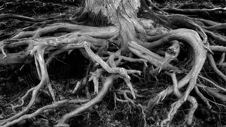 Tangled tree roots banks Saint  - toddhphoto | ello