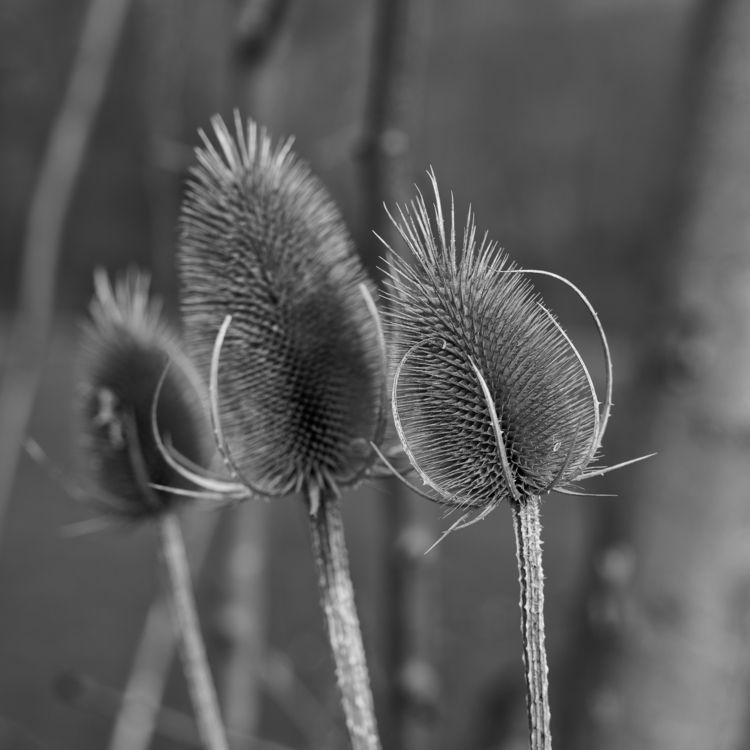 Bristle - photography, thistle, prespring - marcushammerschmitt | ello