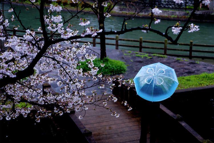 Cherry Blossoms Jellyfish.(花見海月 - miki_abe | ello