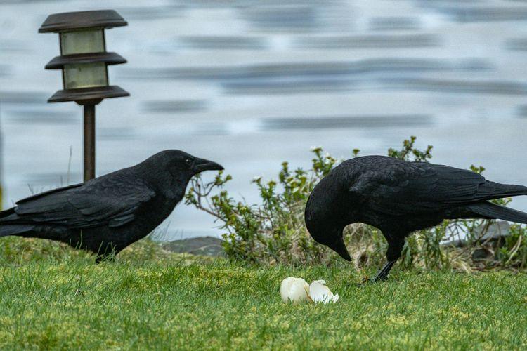 Crow 2021 04 02 01 Stansberry L - davidseibold   ello