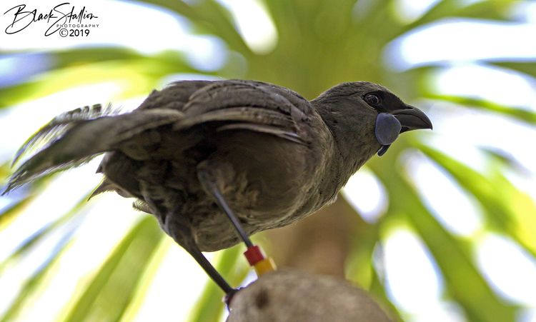 image North Island Kōkako, NZ - igallopfree   ello