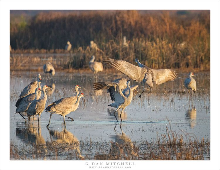 Crane Dance, Morning. Copyright - gdanmitchell | ello