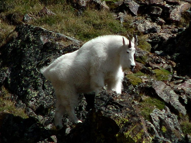 time, notice mountain goat enco - doughayes   ello