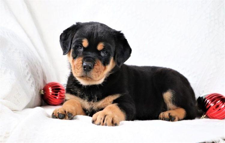 Buy Rottweiler Puppy? Focus Cru - ridgelinerottweiler   ello