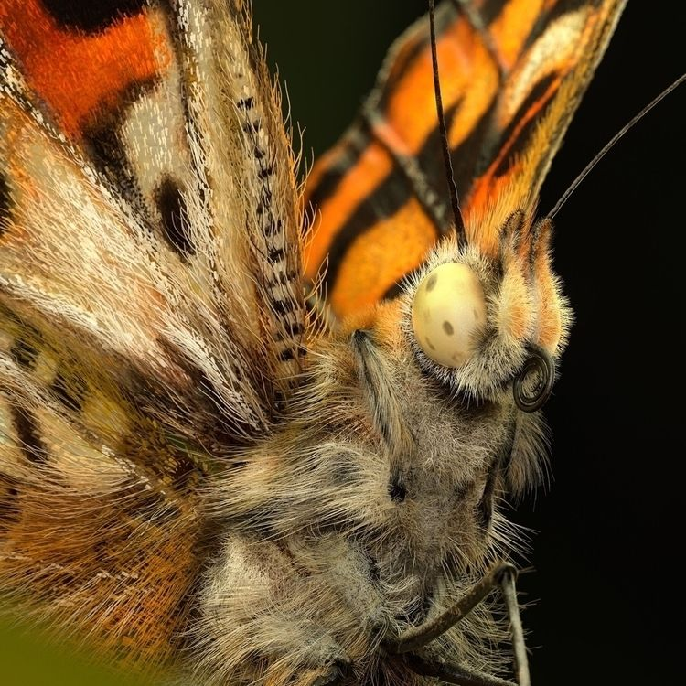 Painted lady butterfly model cr - erickeller   ello
