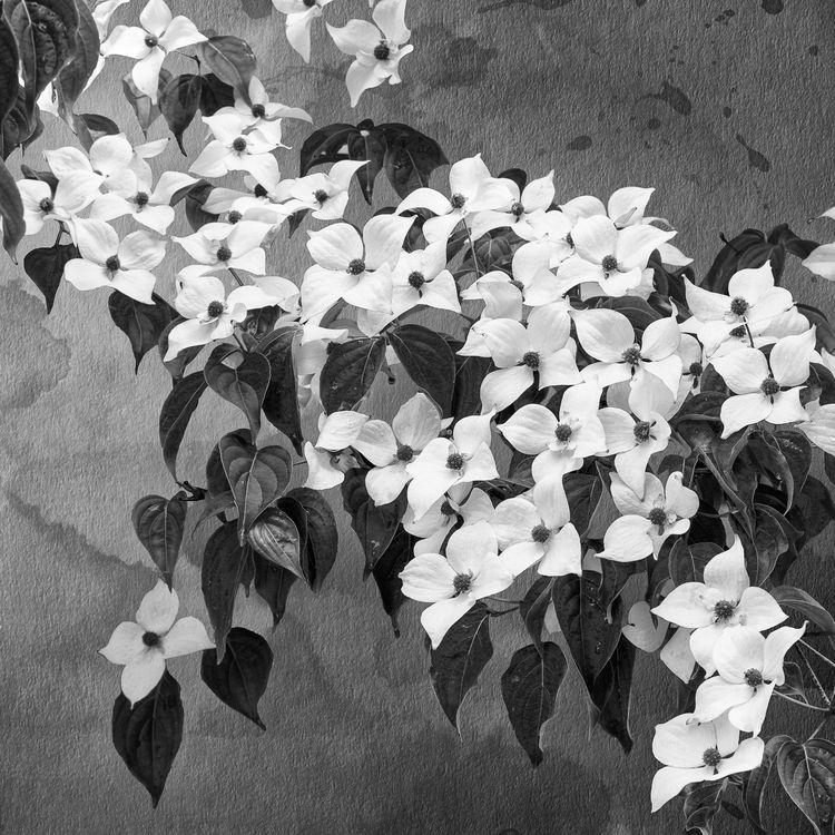 Flowers Texture BW - Dogwood - paulghellothere | ello