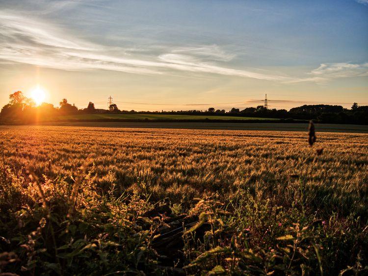 Sunset ripe grain Castle Combe  - neilhowardphotos | ello