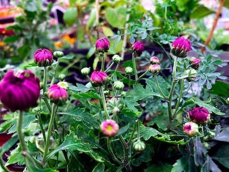 Closed pink daisies stock image - gngraphix | ello