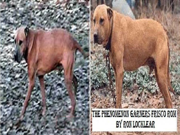 Phenomenon Frisco Pit Bull Book - apbt-game-dogs | ello