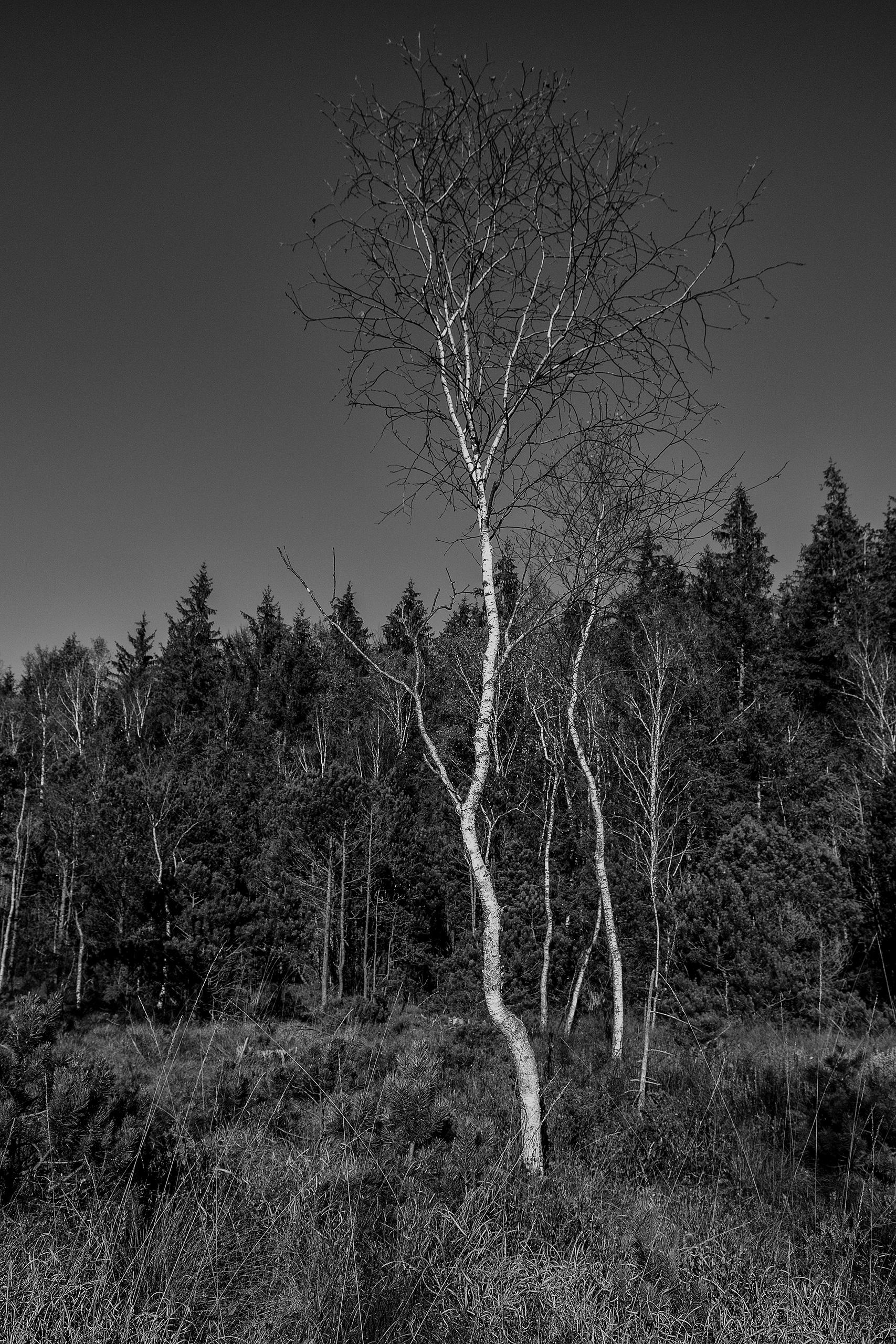 simply slender birch trees high - christofkessemeier   ello
