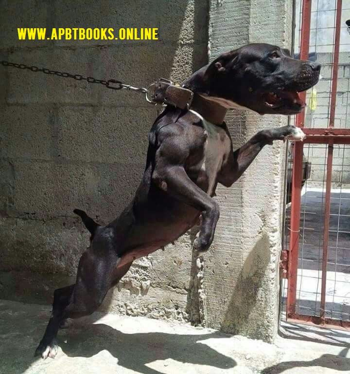 Gameness Game Dogs >>&gt - apbt-game-dogs   ello