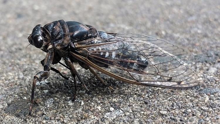cicada c.jpg