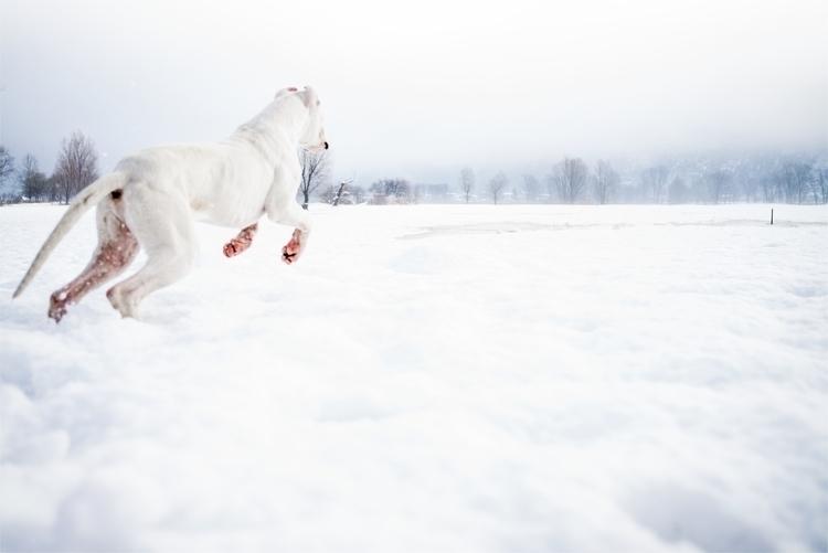 Dogo Argentino 2.jpg