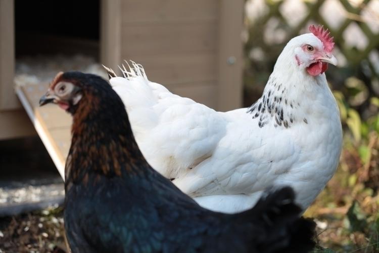 poulettes_1.JPG